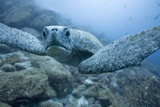 Green Turtle in the Galapagos Islands