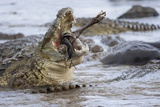 Nile Crocodiles Feeding on Wildebeest Kill