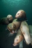 Swimming Steller Sea Lions