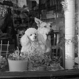 A White Poodle and a German Shepherd Dog Sitting Looking Out of the Window of a Café