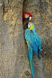 Blue and Gold Macaw with Scarlet Macaw  Costa Rica