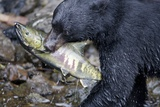 Black Bear and Chum Salmon in Alaska