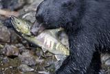 Black Bear and Chum Salmon in Alaska Papier Photo