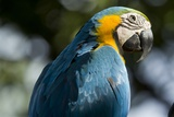 Blue and Gold Macaw  Costa Rica