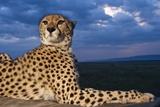 Cheetah Lying on Top of Safari Truck