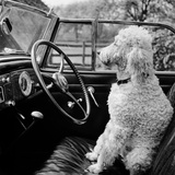 View of a Car Showing a Poodle  Probably Called Baker White  Sitting in the Driver's Seat