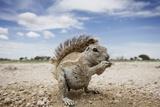 Cape Ground Squirrel in Etosha National Park
