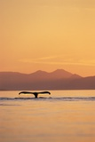 Humpback Whale Surfacing at Sunset