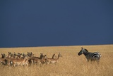 Herd of Impala Facing a Zebra on Savanna