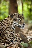 Captive Jaguar at Las Pumas Rescue Shelter