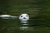 Harbor Seal  British Columbia  Canada