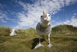 Wandering Albatrosses