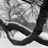 Kew  Greater London  Two Curving Tree Branches Forming a Loop Covered in Snow