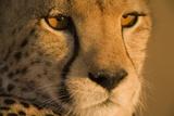 Cheetah  Masai Mara Game Reserve  Kenya