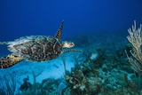 Hawksbill Turtle Swimming Above Reef