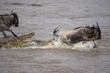 Nile Crocodile Attacking Wildebeest Migrating across Mara River