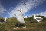 Wandering Albatrosses on South Georgia Island