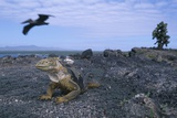 Land Iguana in Galapagos Islands National Park