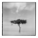 Acacia Tree  Masai Mara Game Reserve  Kenya