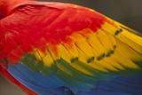 Scarlet Macaw  Costa Rica