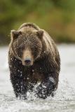 Brown Bear, Katmai National Park, Alaska Papier Photo