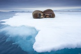 Sleeping Walruses, Svalbard, Norway Papier Photo