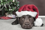 Labrador in Santa Hat Sleeping by Xmas Tree