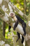 White-Faced Capuchin , Costa Rica Papier Photo