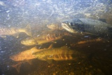 Spawning Chum Salmon in Alaska