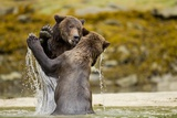 Sparring Brown Bears  Katmai National Park  Alaska