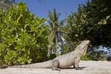 Lesser Caymans Iguana