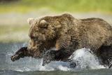 Brown Bear Fishing  Katmai National Park  Alaska