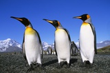 Trio of King Penguins