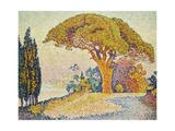 Pine Trees at Bertaud  Saint- Tropez (Provence)