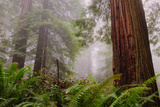 Fog and Redwood Grove  California Coast