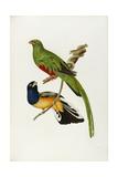 Pavonine Quetzal (Trogon Pavonius) and Surucua Trogon (Trogon Aurantius)