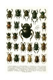 Vintage Illustration of Varieties of European Beetles