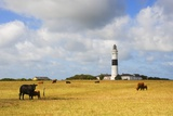 Cows Grazing Near Kampen Lighthouse on Sylt Island