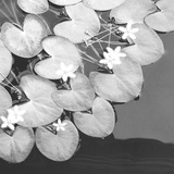 The Lily Pool B&W
