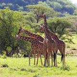 Masai Giraffe (Giraffa Camelopardalis Tippelskirchi)  Samburu National Reserve  Kenya