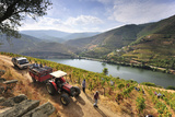 Grapes Harvest Along the Douro River  Near Covelinhas Alto Douro  Portugal