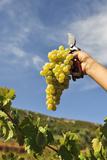 Grapes Harvest in Ladeira  Beira Baixa Portugal