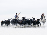 Black Bulls of Camargue and their Herders Running Through the Water  Camargue  France