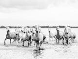 Camargue White Horses Galloping Through Water, Camargue, France Papier Photo par Nadia Isakova