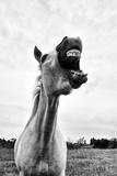 Grinning Horse, Camargue, France Papier Photo par Nadia Isakova