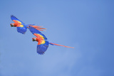 Scarlet Macaws (Ara Macao) on Flight  Corcovado National Park  Costa Rica
