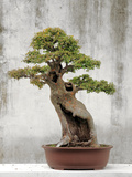 Bonsai Tree  Classical Garden  Suzhou  Jiangsu  China