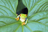 Red-Eyed Tree Frog (Agalychins Callydrias) Emerging from a Leaf  Costa Rica