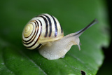 Snail on a Green Leaf Macro