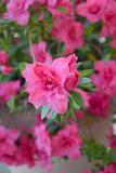 Flowers and Buds of Azalea